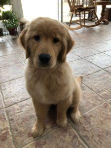 Our Dogs | Golden Acres Michigan | Golden Retriever Puppies