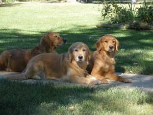 Luna, Ribbon and Page Golden Retrievers
