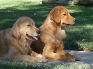 Ribbon and Page Golden Retrievers